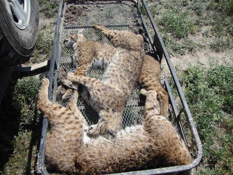 bobcat coyote trap trapping