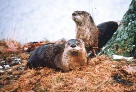 Trapping Radio 126 How to trap otter, must know your otter with Claudie Taylor