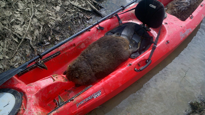 MeatTrapper Radio Episode 62 – Front Foot Beaver Trapping