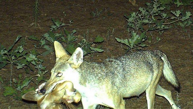 How Coyote Claymore lure/bait combo can save some trappers some real money